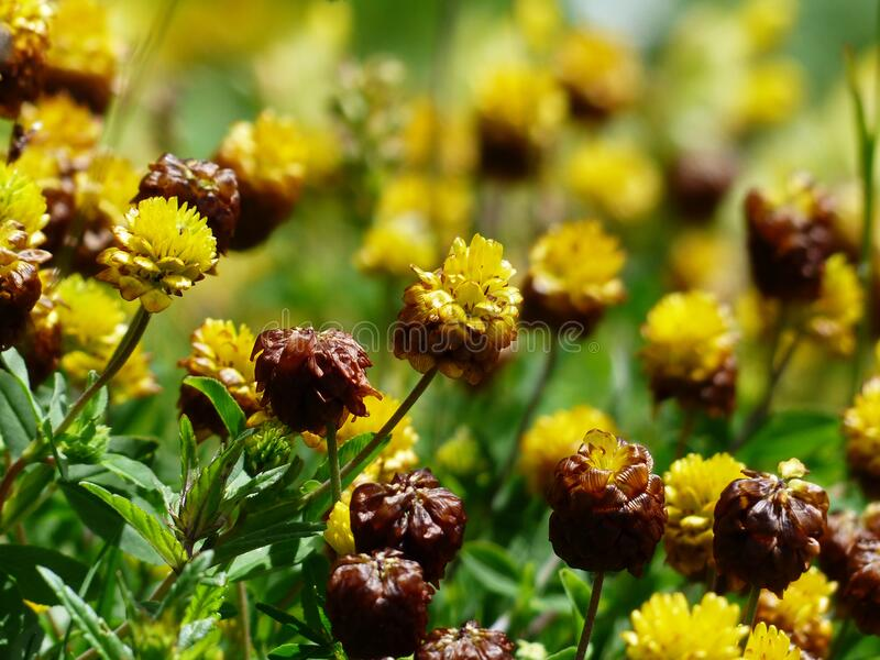 Brown And Yellow Cluster Petaled Flower Closed Up Photography Free Public Domain Cc0 Image