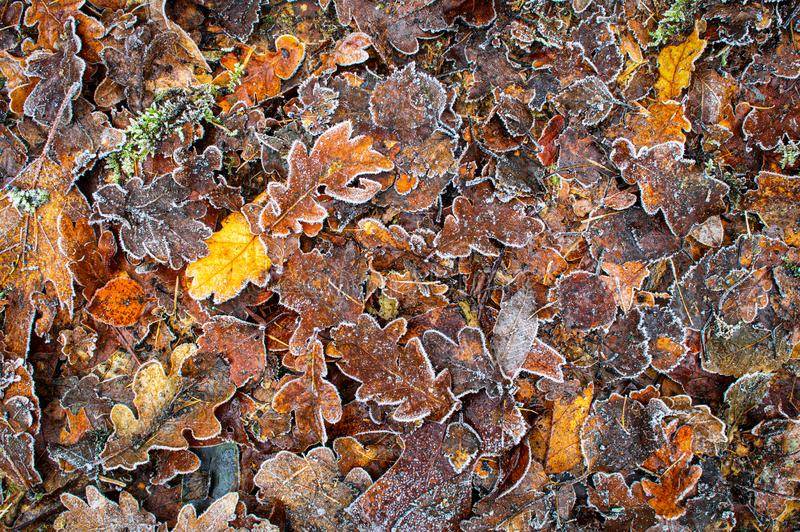 Brown and yellow Frozen leaves. Background texture symbolizing winter mornings stock photos