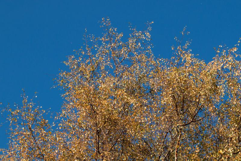 Brown and yellow trees and blue sky during autumn in a nature reserve in England.  stock images