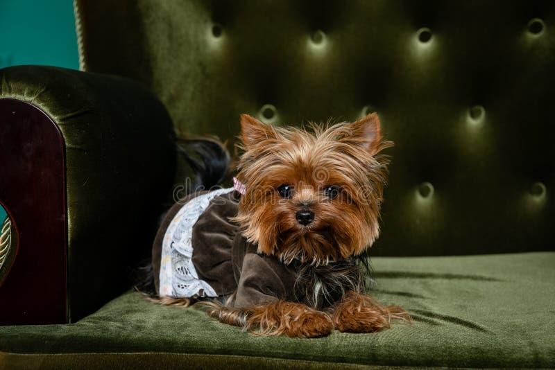 Brown Yorkshire Terrier dziewczyna w psie odziewa na zielonym krześle z zielonymi guzikami, isolated/ zdjęcie stock