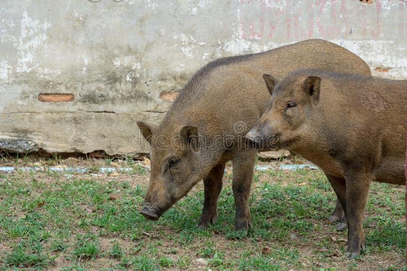 Brown short hair wild boars trespass through human living space. Brown young and adult short hair wild boars trespass through human living space stock photography