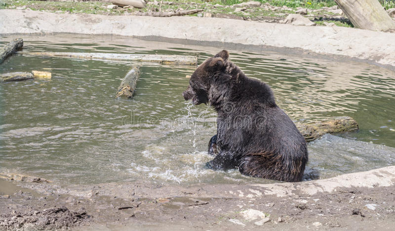 Brown young bear playing near the water. Wet bear sitting in the water stock image