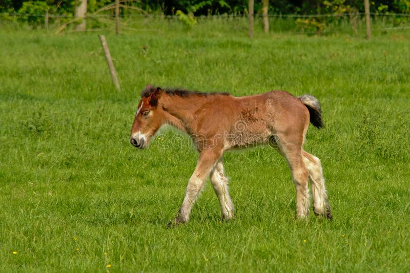 Young brown foal walking in a sunny green meadow, side view royalty free stock photo
