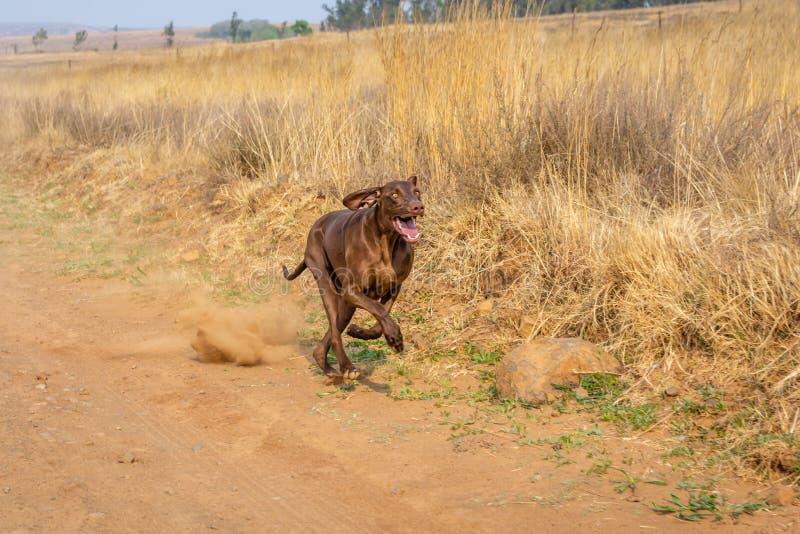 Brown-Zeigerhund, der entlang eine Schotterstraße, Staub oben tretend läuft lizenzfreie stockfotos