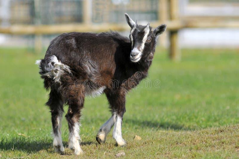 Brown-Ziege auf Gras lizenzfreie stockfotos