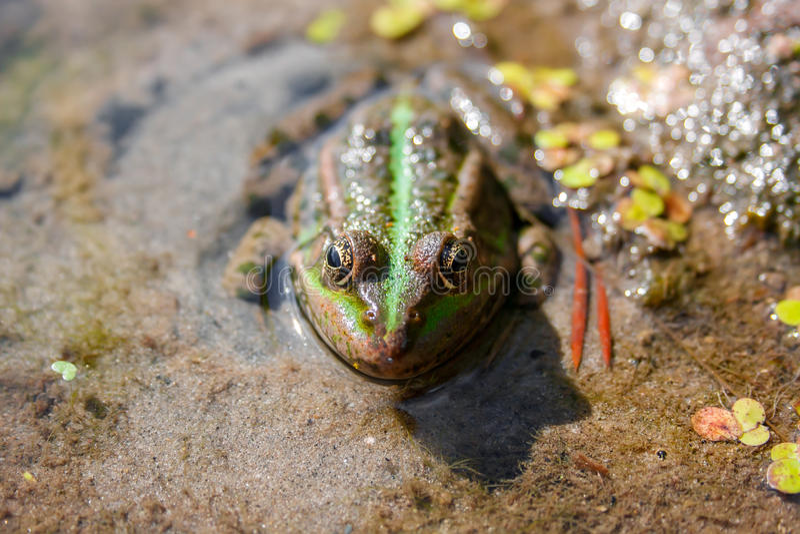 Brown zielona żaba w bagna zakończenia up - frontowym widoku fotografia stock