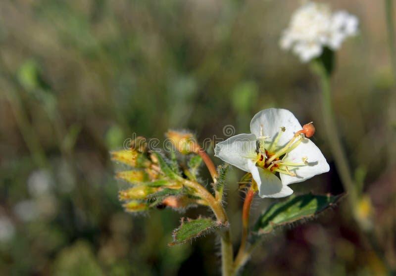 Browneyed-Primelblume, Wüsten-Nationalpark Anza Borrego lizenzfreie stockfotografie