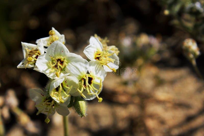 Browneyed-Primelblume, Wüsten-Nationalpark Anza Borrego stockbilder
