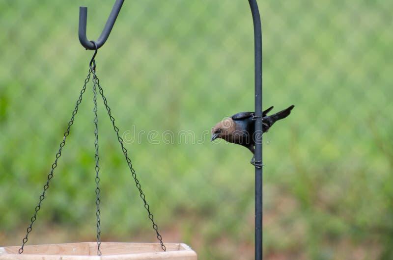 Brownheaded Cowbird bij vogelvoeders royalty-vrije stock afbeelding