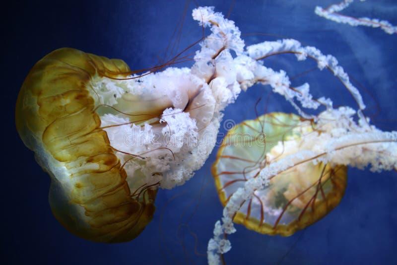 brownseafisknässlor royaltyfri fotografi