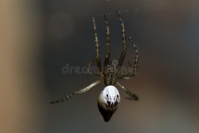 BrownSpider zdjęcie royalty free