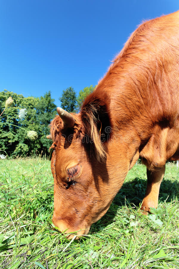 Download Browse cow stock image. Image of domestic, blue, cattle - 30358233