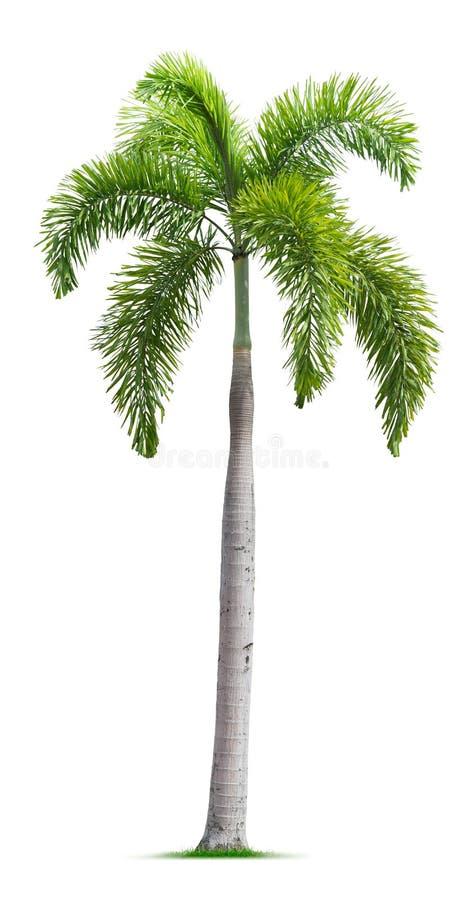 Bru drzewko palmowe fotografia stock