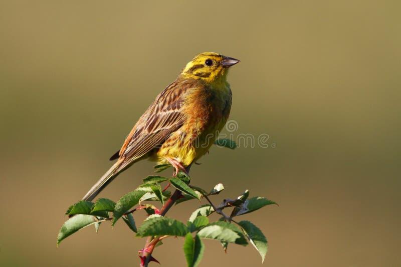 Bruant jaune d'oiseau, citrinella d'Emberiza image stock
