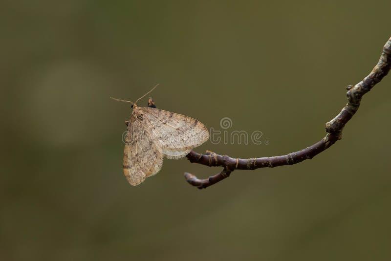 Bruce Spanworm Moth photo libre de droits