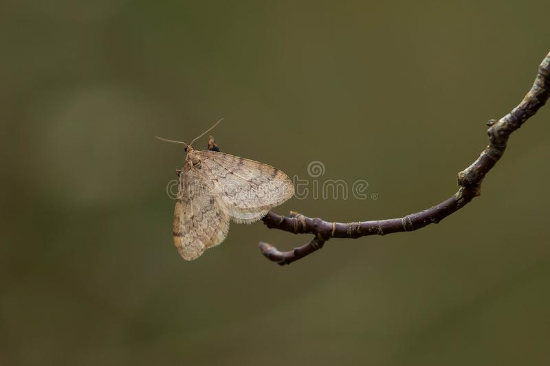 Download Bruce Spanworm Moth stock image. Image of horizontal - 104238015