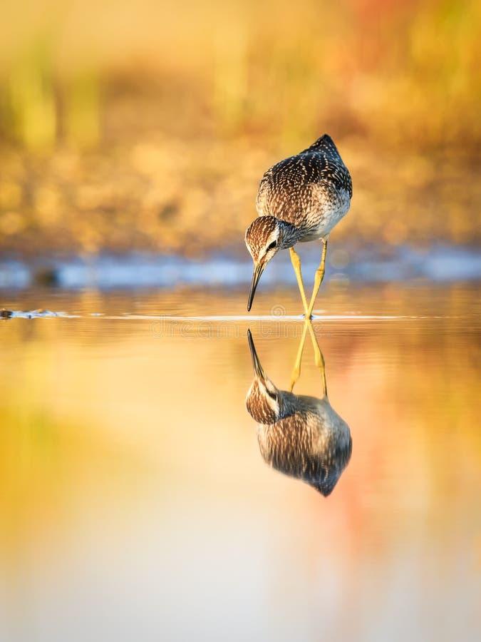 Bruchwasserläufer mit den Beinen kreuzte stockbild