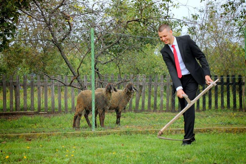 Brudgum och sheeps arkivfoto