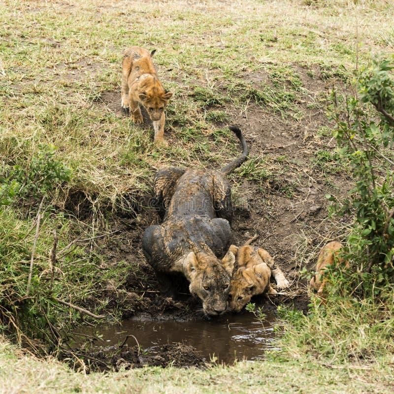 Brudna lwica i lisiątka pije, Serengeti, Tanzania fotografia royalty free