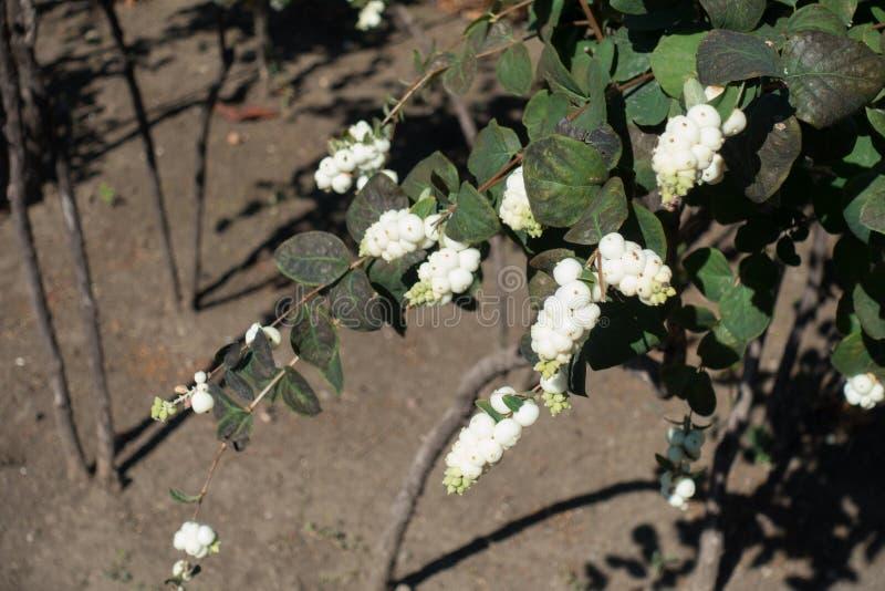 Brudno- zieleń liście i białe jagody Symphoricarpos albus obraz stock