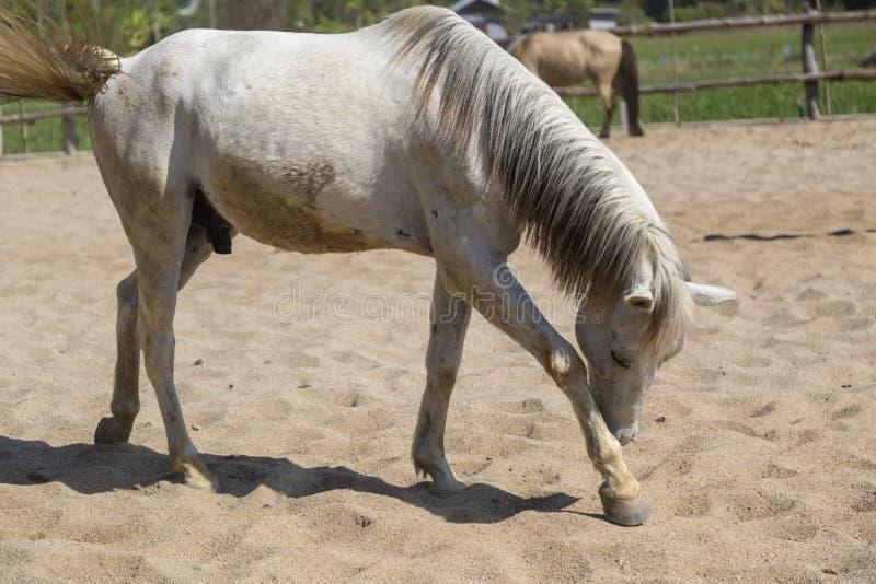Brudny biały koń w rolny relaksować w piasek stajence fotografia royalty free
