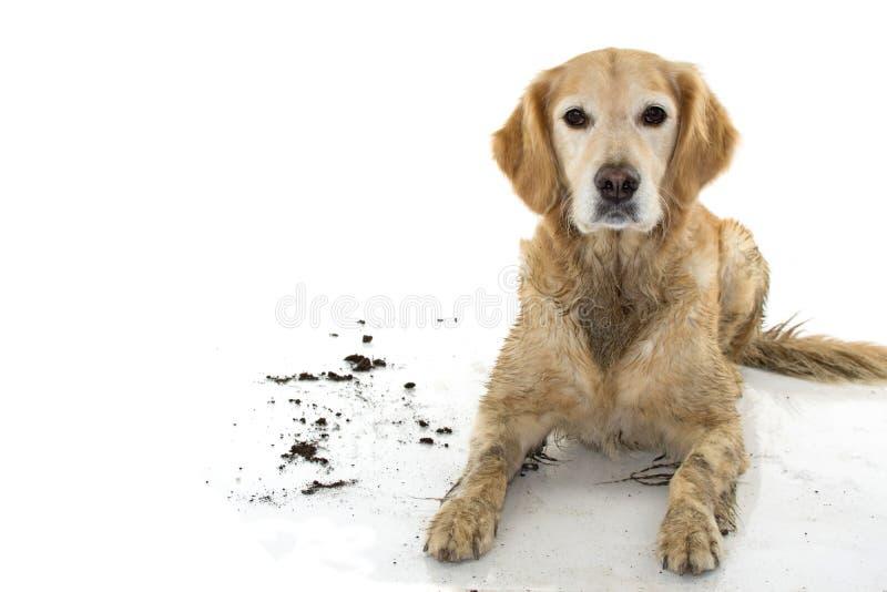 BRUDNY golden retriever I pies, PO sztuki W BOROWINOWEJ kałuży, ISOL obraz stock