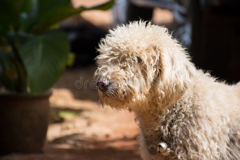 Brudny pudla pies po bawić się piasek obraz stock