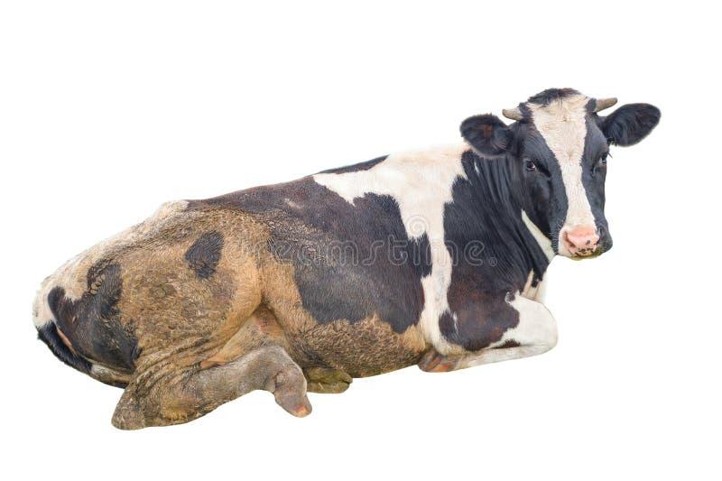 Brudzę dostrzegał czarny i biały krowy odizolowywającej na bielu zdjęcie royalty free