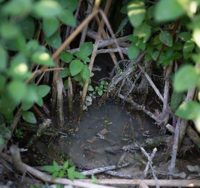 Brudzi wodę w polanie między roślinami w bagnie zdjęcie stock