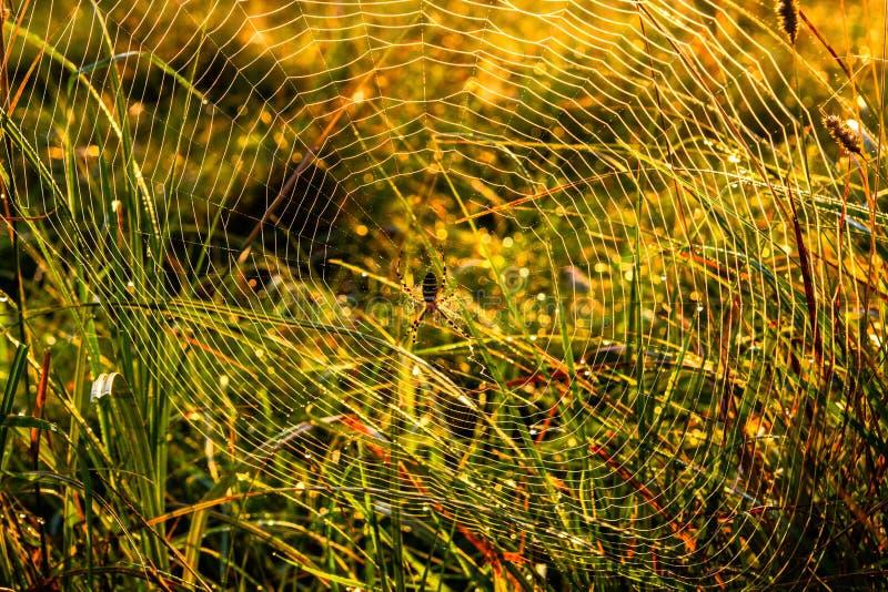 bruennichi Argiope Паук-оси на собственной сети на утре осени с падениями росы в высокорослой траве стоковое изображение rf