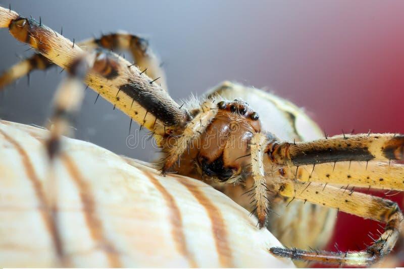 Bruennichi d'argiope d'araign?e de gu?pe image libre de droits