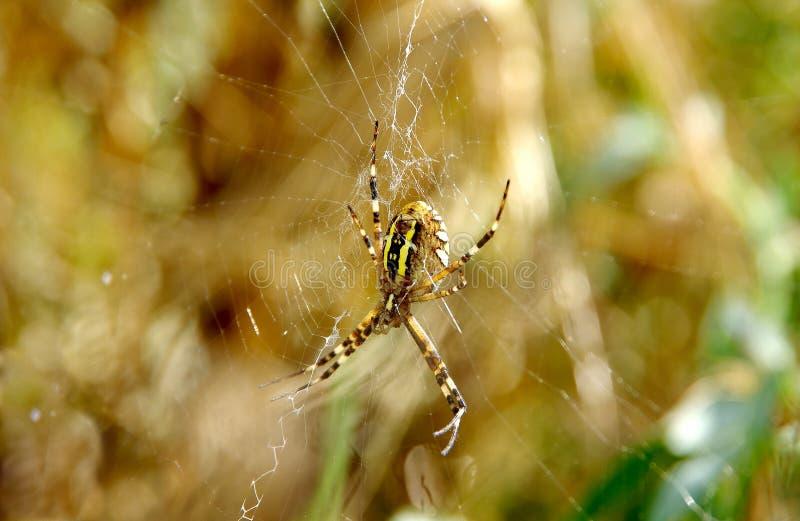 Bruennichi del argiope de la araña de la avispa fotos de archivo