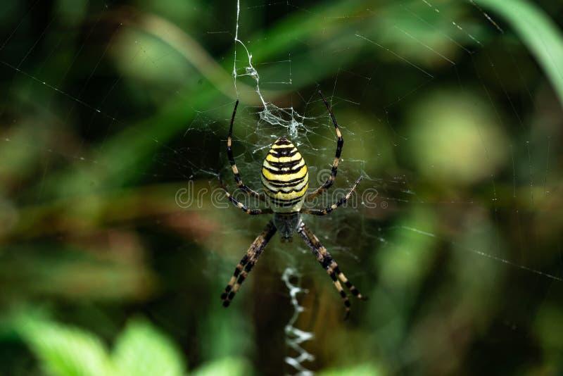 Bruennichi del Argiope de la araña que se sienta en su primer de la web imagenes de archivo
