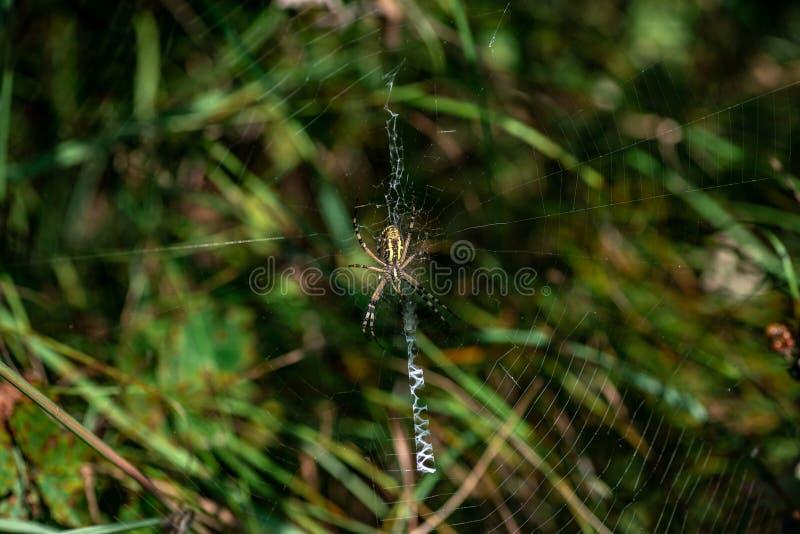 Bruennichi del Argiope de la araña que se sienta en su primer de la web fotos de archivo libres de regalías