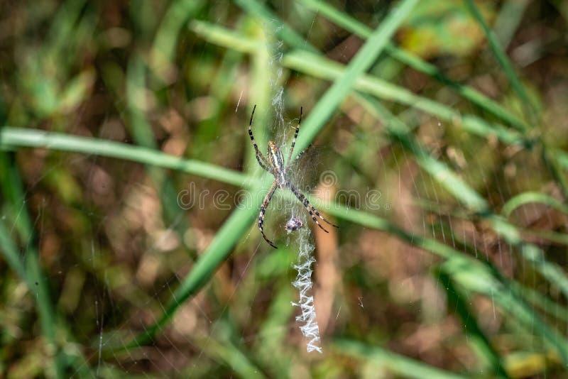 Bruennichi do Argiope da aranha que senta-se em sua Web com uma vítima imagens de stock