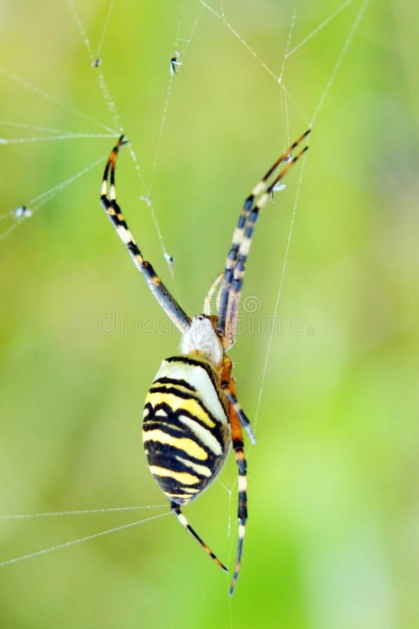 Bruennichi för Wasp spindelArgiope på hans rengöringsduk arkivbilder