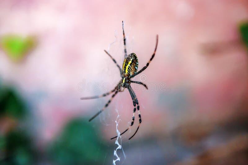 Bruennichi för Wasp spindelArgiope på hans rengöringsduk arkivfoto