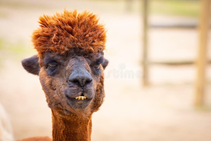 Bruin alpaca hoofdportret die recht de camera bekijken stock afbeeldingen
