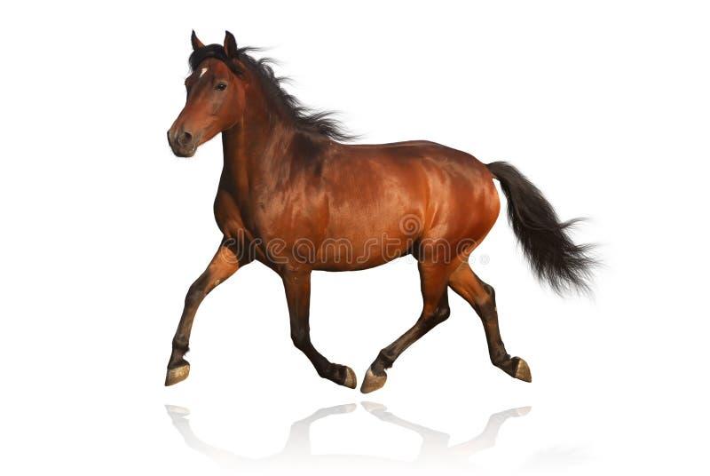Bruin Arabisch poneypaard dat op wit wordt geïsoleerdo stock afbeeldingen