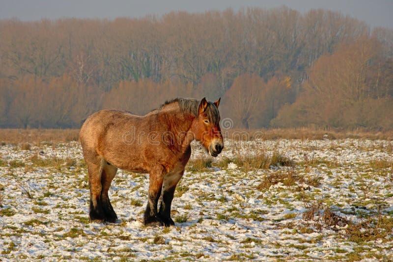 Bruin Belgisch zwaar paard stanind in de winterweide met sneeuw royalty-vrije stock fotografie
