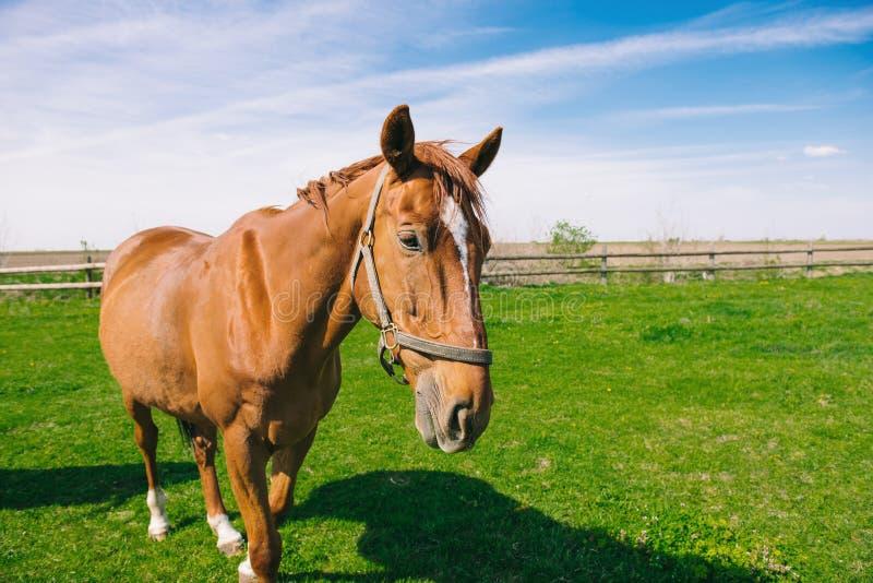 Bruin binnenlands paard op het gebied stock foto's