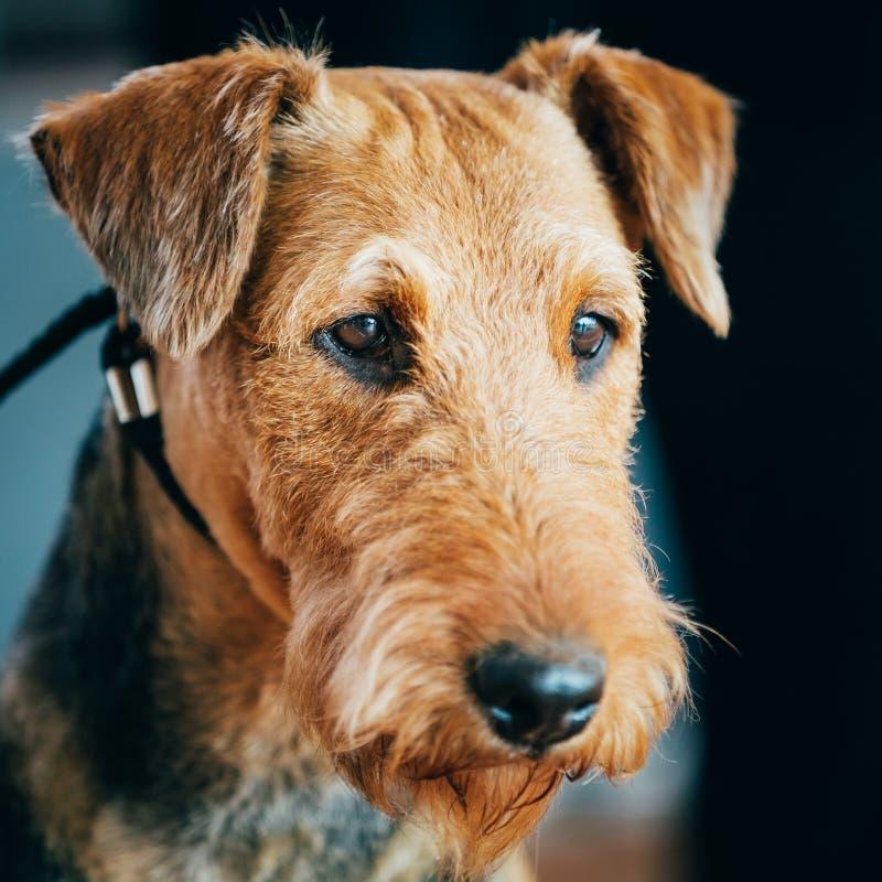 Bruin de Hond Dicht Omhooggaand Portret van Airedale Terrier stock afbeelding
