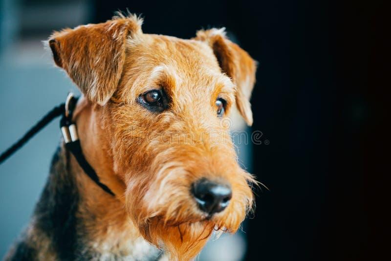 Bruin de Hond Dicht Omhooggaand Portret van Airedale Terrier royalty-vrije stock afbeelding