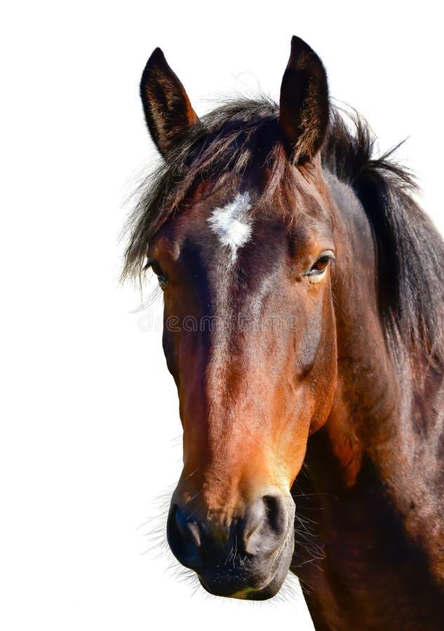 Bruin die paardhoofd op wit wordt geïsoleerd Een close-upportret van het gezicht van een paard royalty-vrije stock afbeelding
