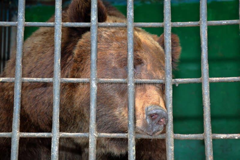Bruin draag achter de tralies in een dierentuinkooi royalty-vrije stock fotografie