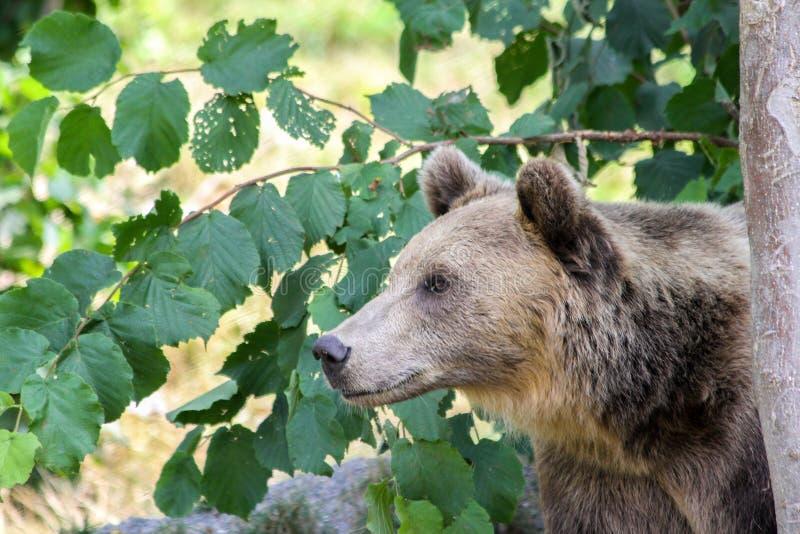 Bruin draag huiden en piepgeluiden watchfully achter een boom stock fotografie