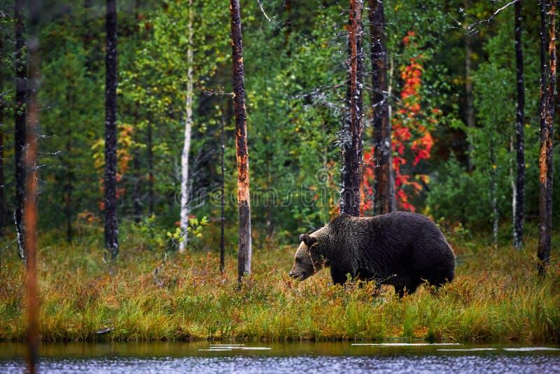 Bruin draag lopend in bos Gevaarlijke groot dragen in aardtaiga en weidehabitat stock foto's