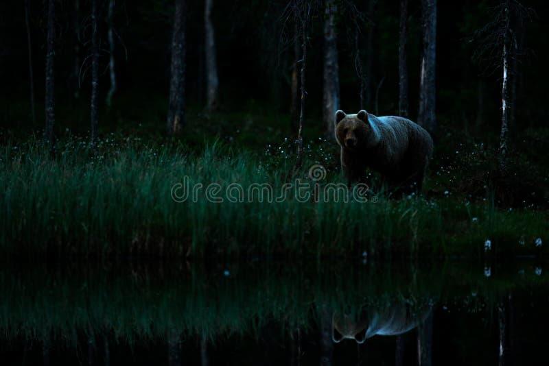 Bruin draag lopend in donker nacht bos Gevaarlijk dier in aardtaiga en weidehabitat Het wildscène van Finland dichtbij Rus royalty-vrije stock afbeelding