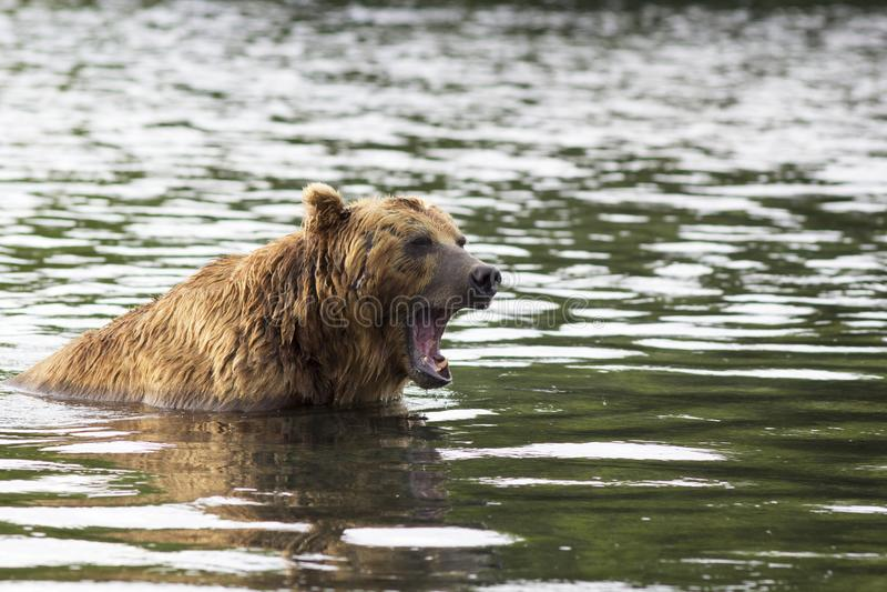 Bruin draag menacingly in watergegrom Kamchatka, Rusland royalty-vrije stock foto's