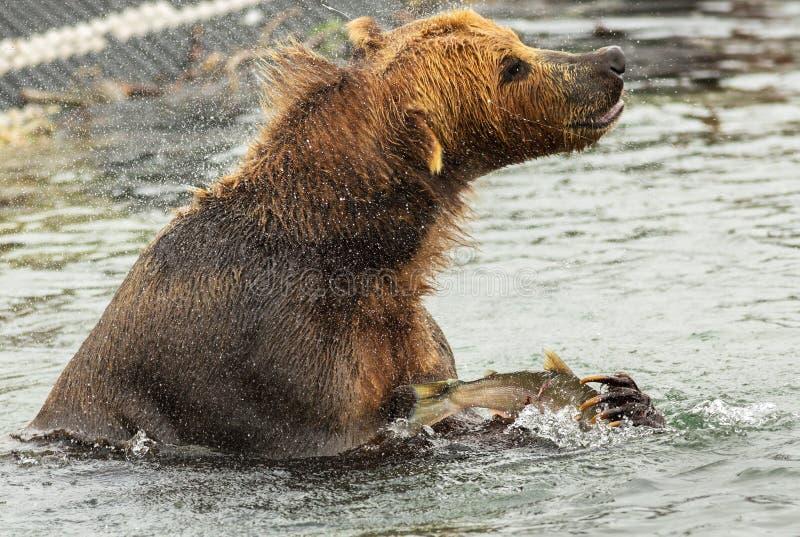 Bruin draag met prooi in zijn klauwenschokken van water op Kurile-Meer royalty-vrije stock foto